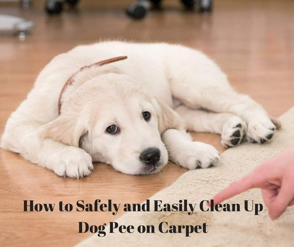 My Dog Peed On My Rug: How To Safely And Easily Clean Up Dog Pee On Carpets