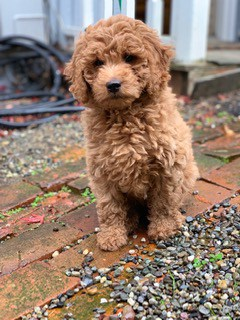 Ruby goldendoodle dog