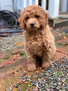 Ruby goldendoodle dog