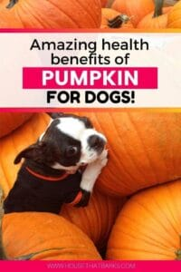 Amazing health benefits of pumpkin for dogs