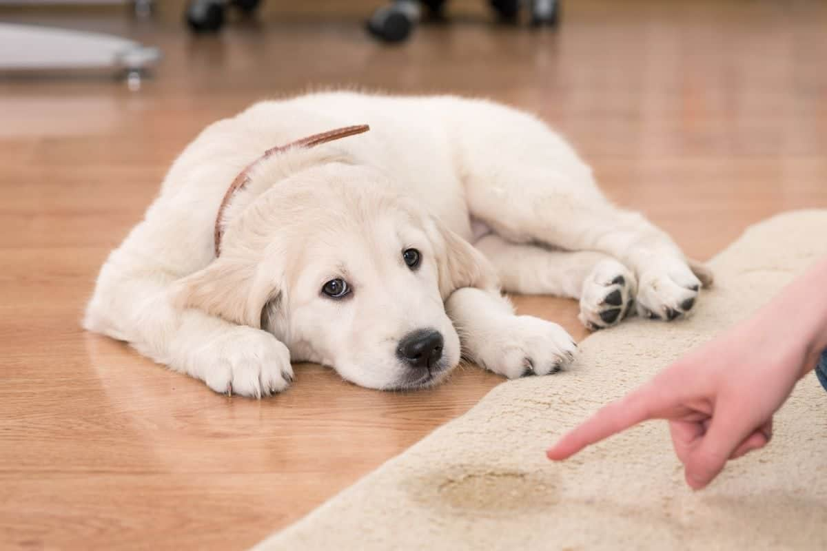 dog pee out of carpet