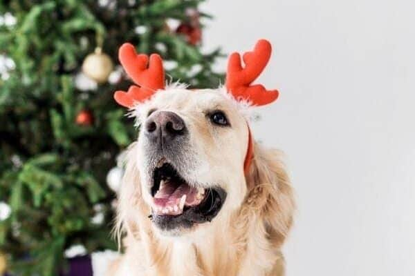 Dog Christmas Tree Safety