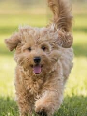 The Beginners Guide to Goldendoodle's