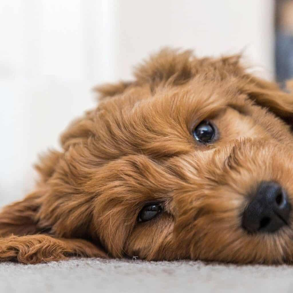 sleepy goldendoodle puppy