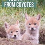 How to Keep Your Dog Safe From Coyotes PIN