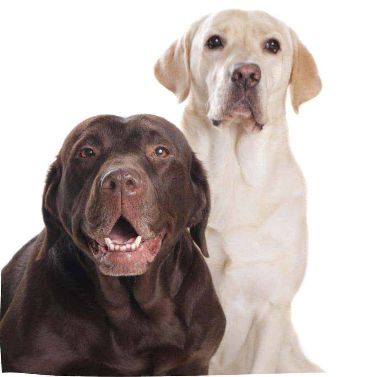 10 Popular Answers about Labrador Retriever Questions