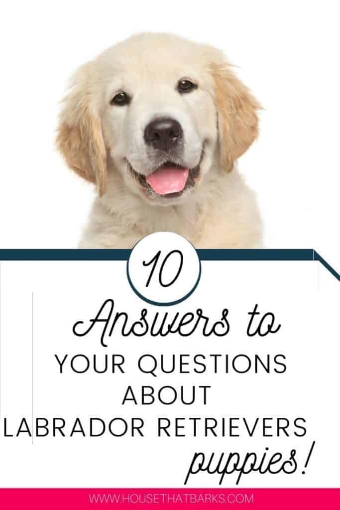 Top 10 Answers to your Labrador Retriever Questions