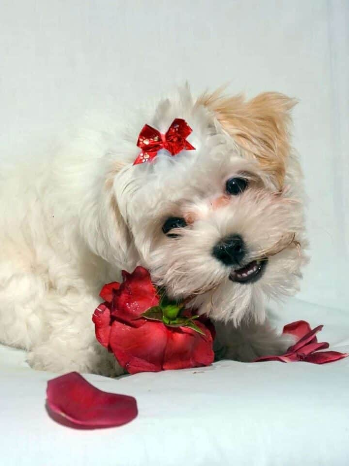 What Should I get my Dog for Valentine's Day?