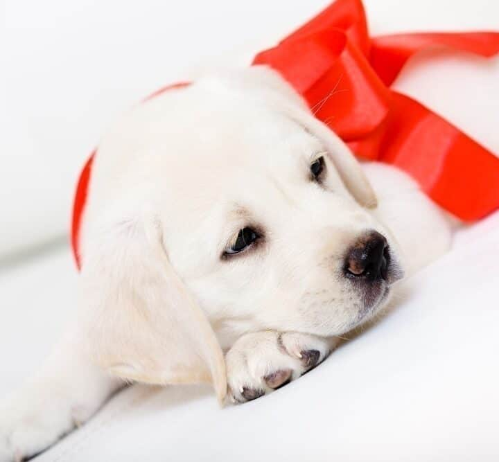 Preparing for Your New Christmas Puppy