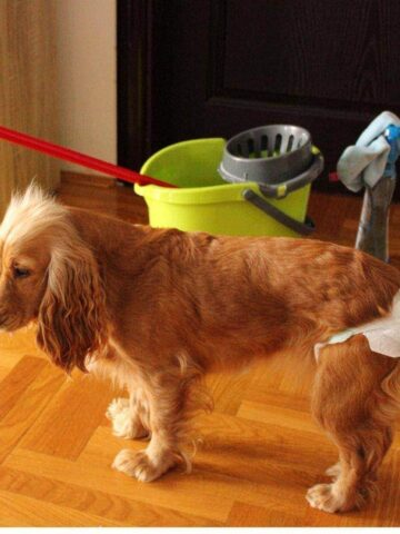 cute dog in heat with diaper