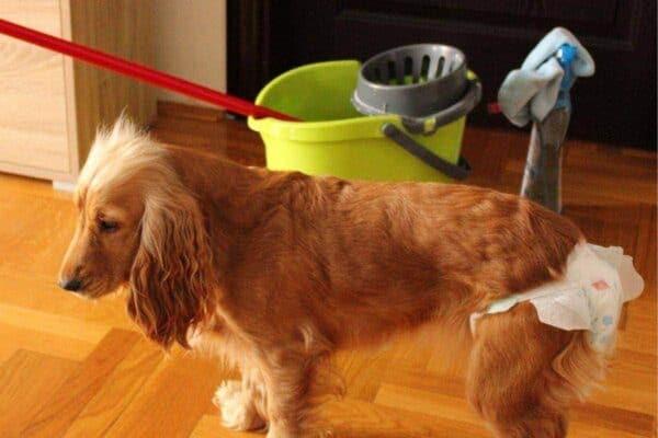 cute dog in heat with diaper