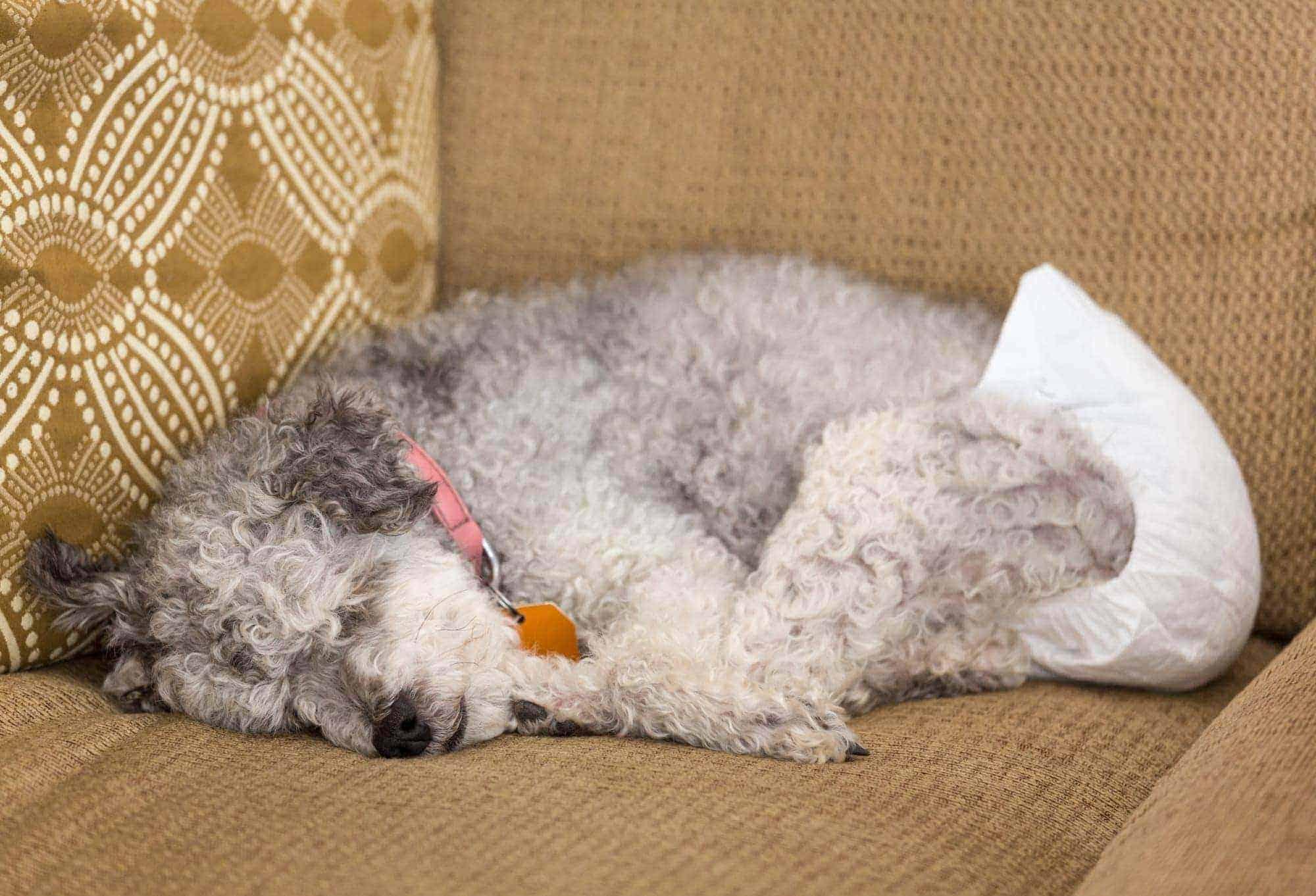 dog in heat wearing a diaper