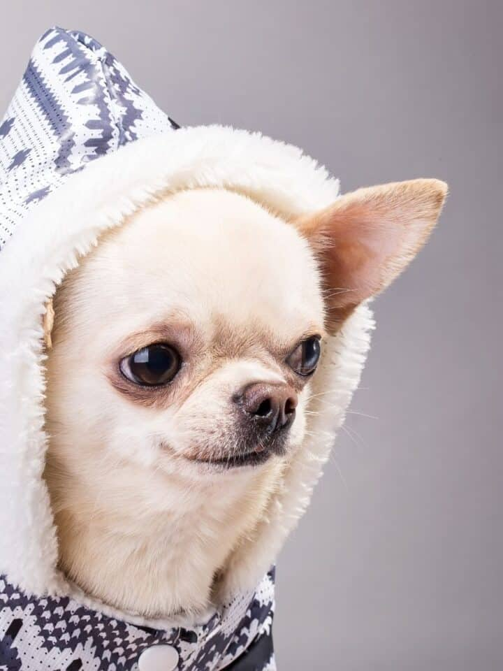 How to Tell if your Dog Needs a Winter Coat?