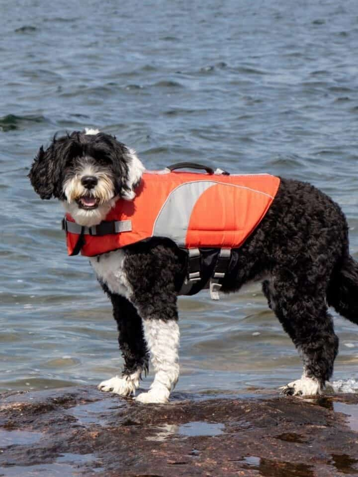 Does My Dog Need a Life Jacket?