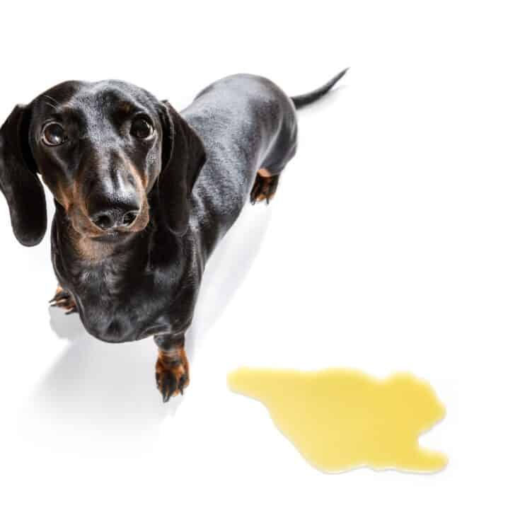 How to Get Dog Pee Out of Carpet Naturally