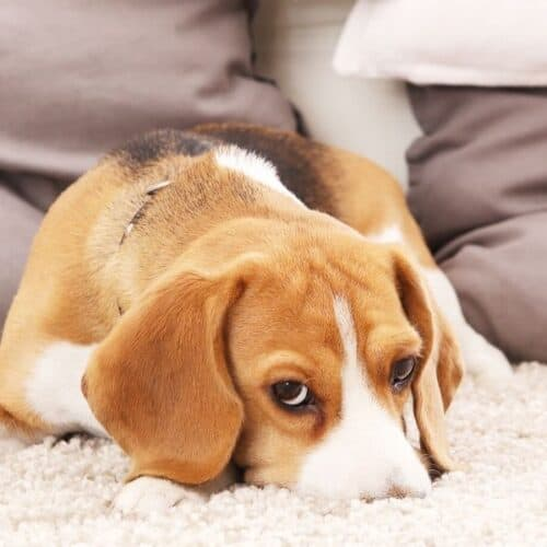 Naturally Clean Up Dog Pee on Carpet.