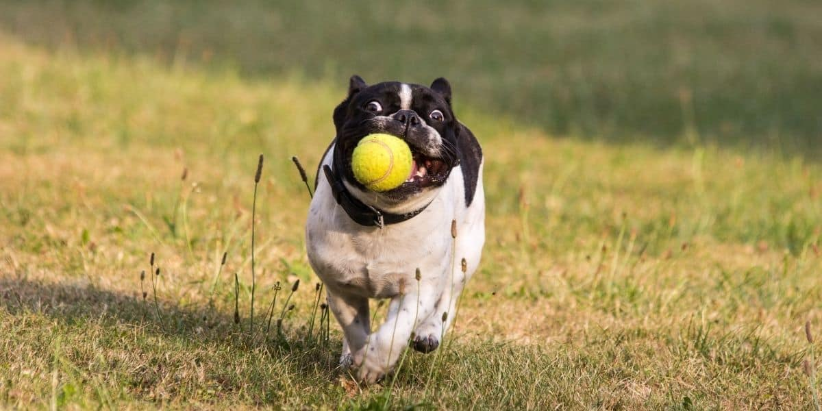 playing ball with dog