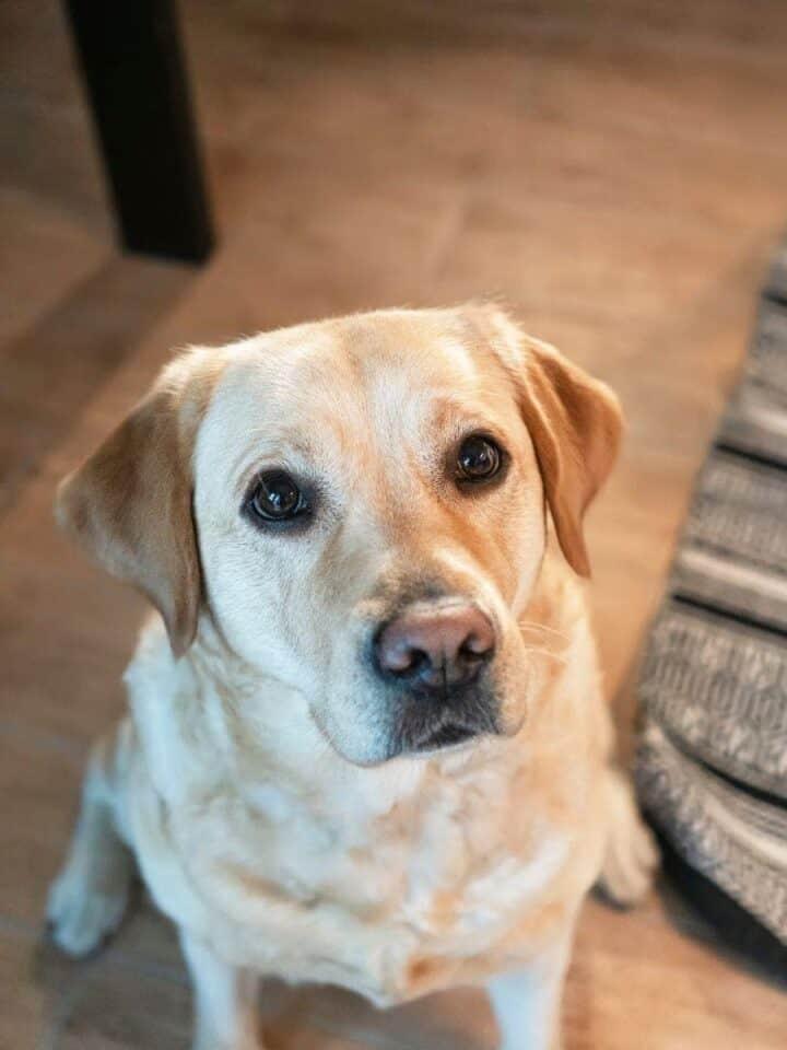 5 Best Dog Cameras That Dispense Treats