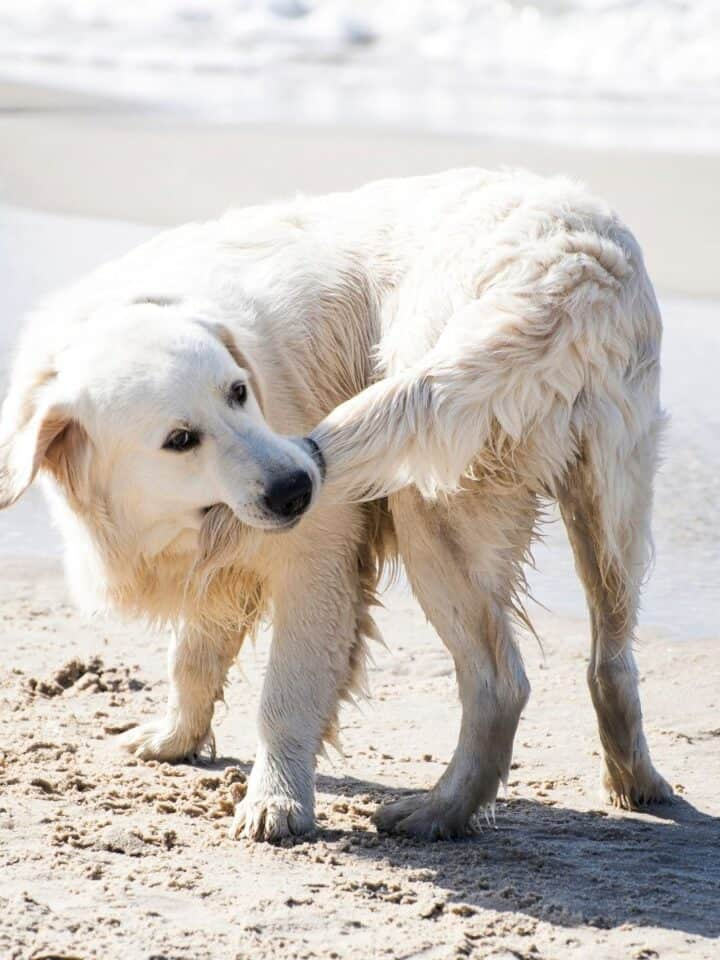8 Reasons Why Dog's Chase Their Tails?