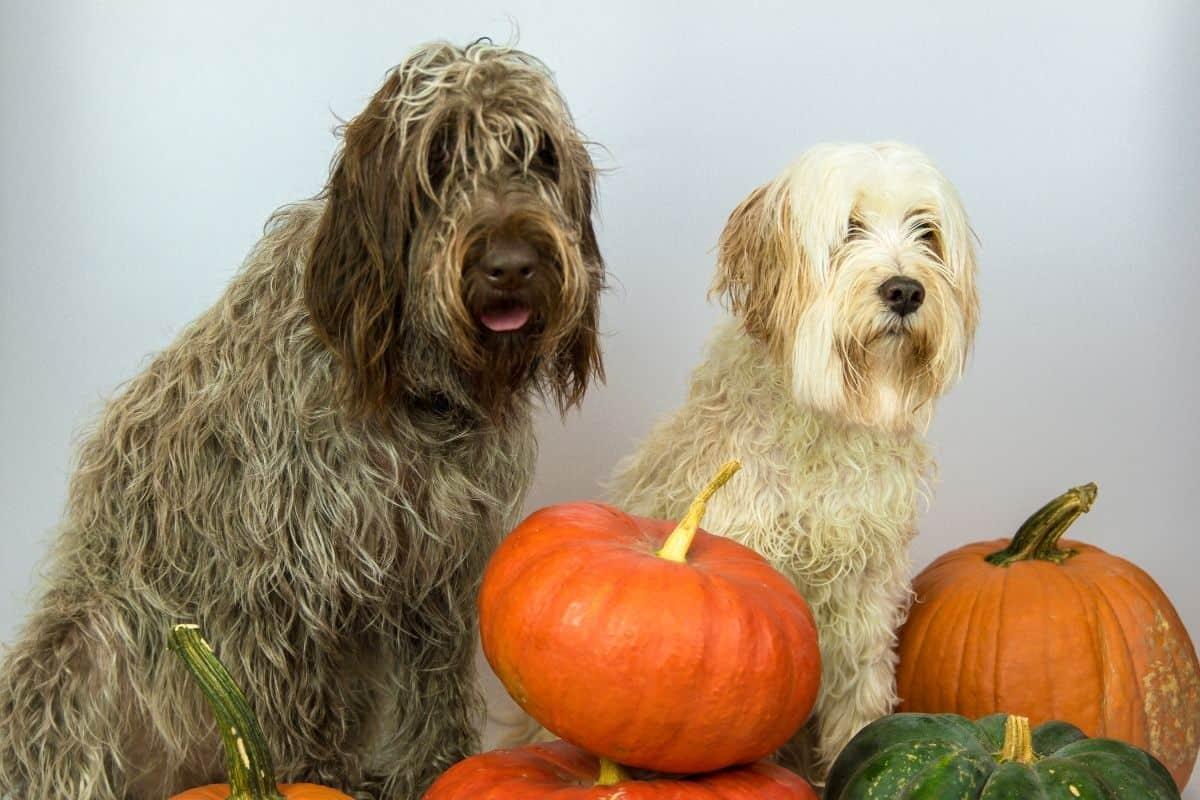 dogs eat pumpkin