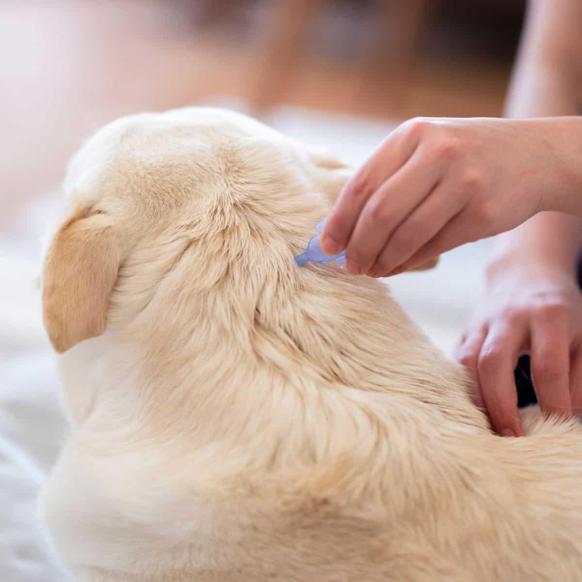 dogs fleas infestation