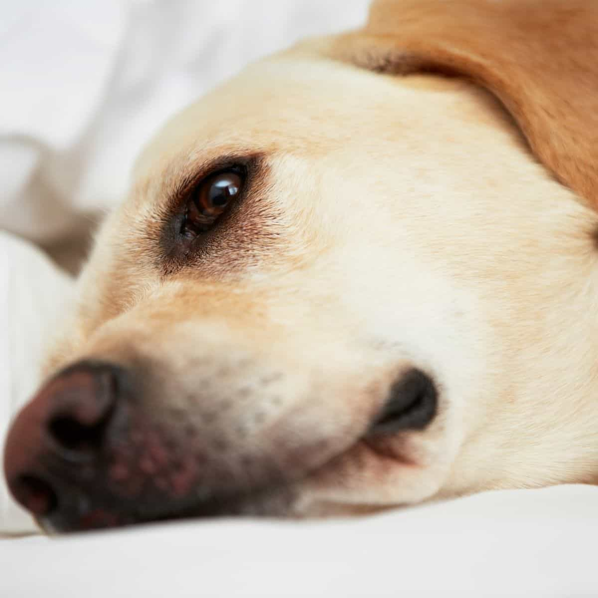 dogs hypoglycemia in dogs