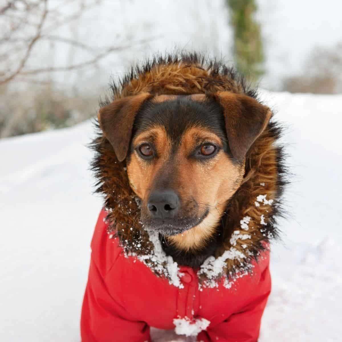 dogs in winter coat