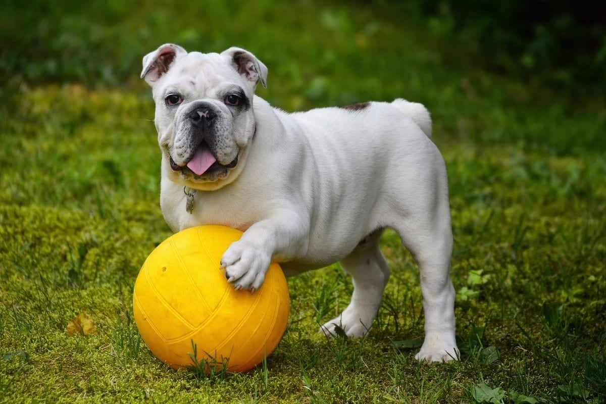 healthy weighty dogs