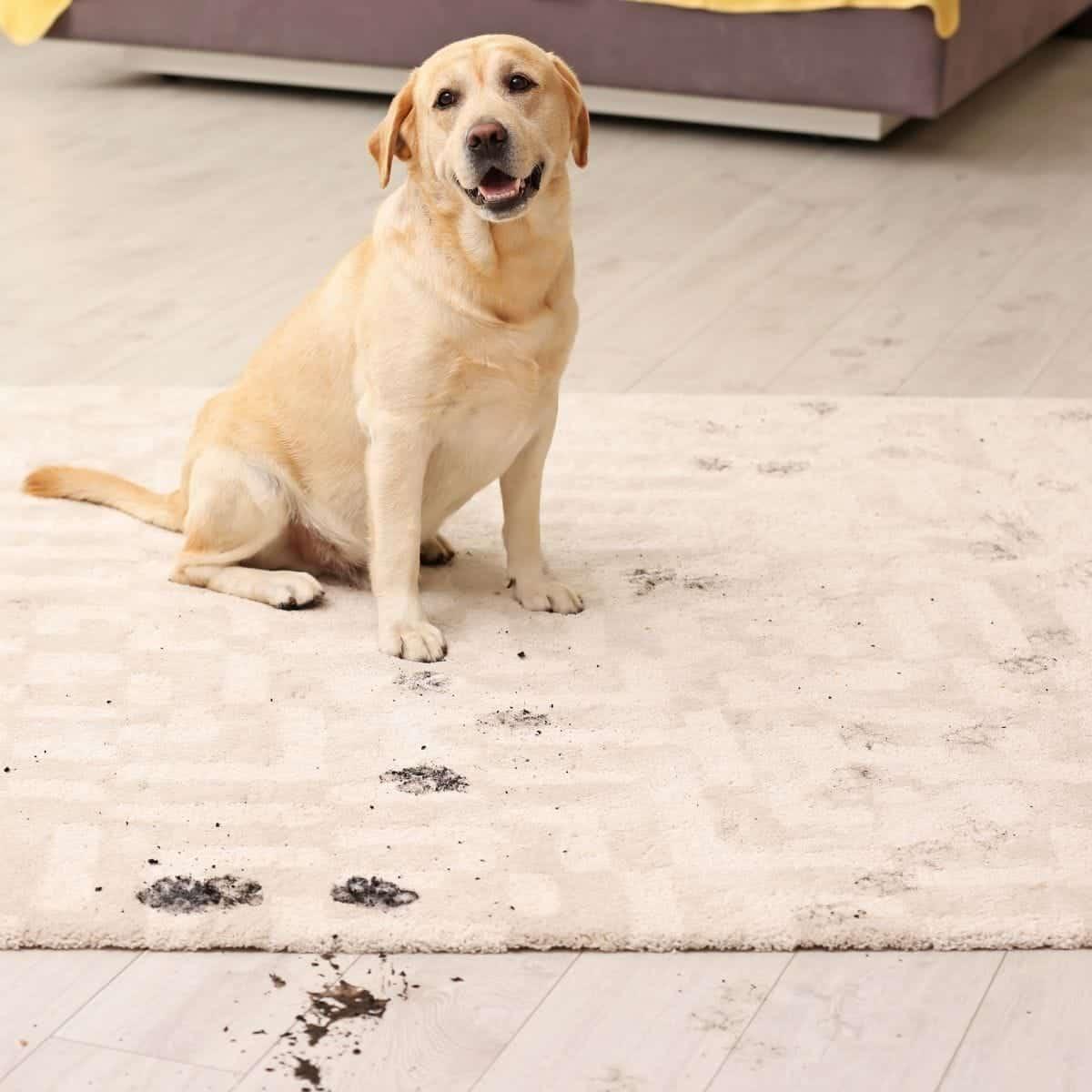 dogs muddy paws