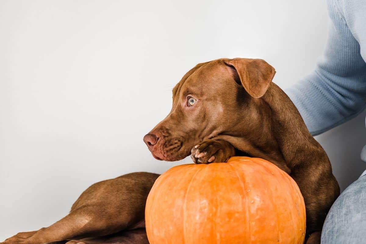 dogs pumpkin_