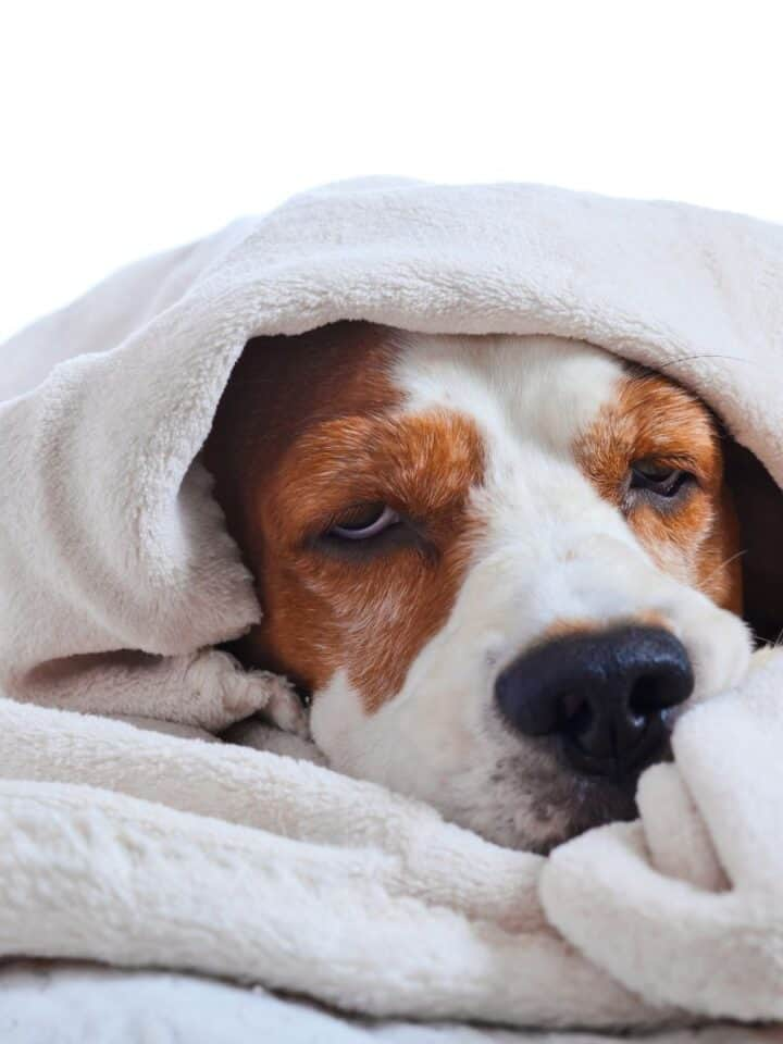 How to Calm a Dogs Upset Stomach or Diarrhea