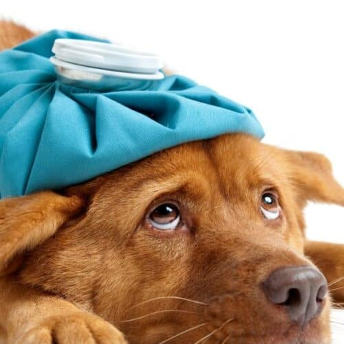 4 Best Recipes for Dogs Diarrhea or Upset Stomach