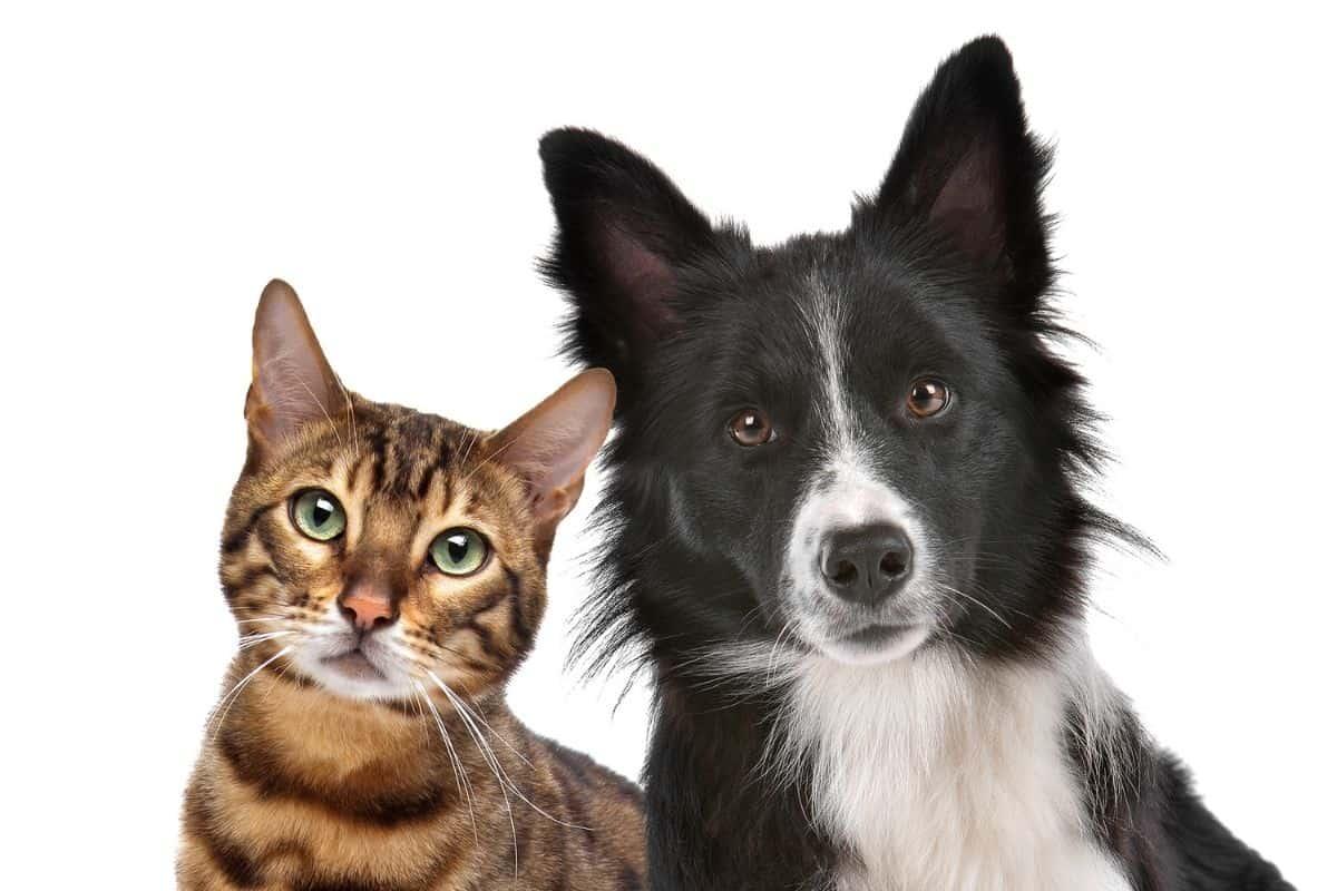 dogs vs cat