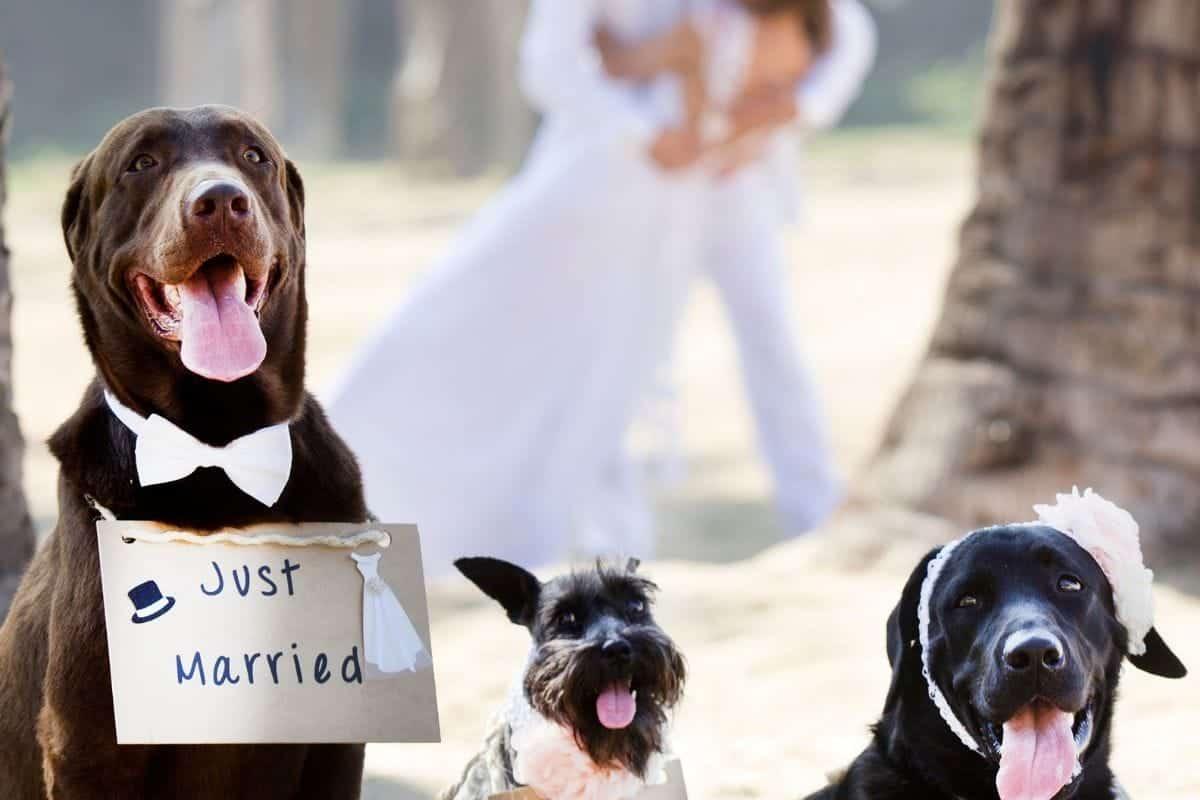 dogs weddings