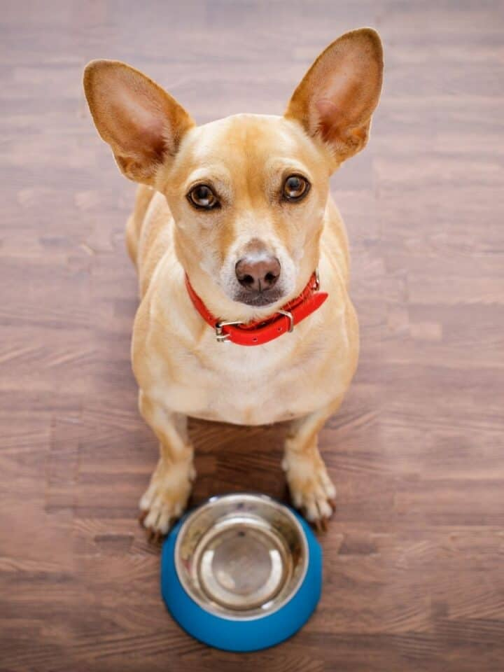 Dogs with Food Intolerances