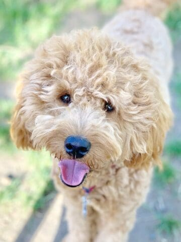 Facts about Goldendoodles