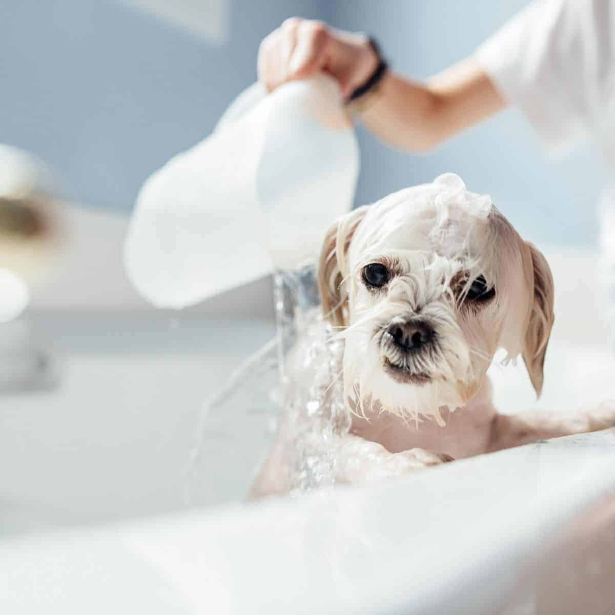 giving a dog a bath