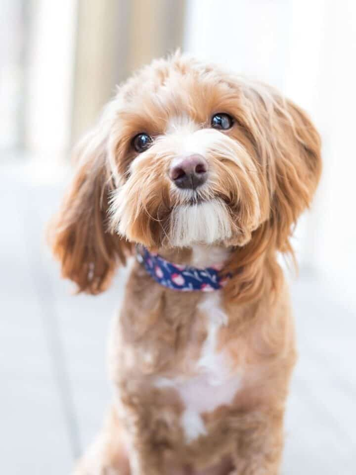 How to Help a Dog with Hypothyroidism