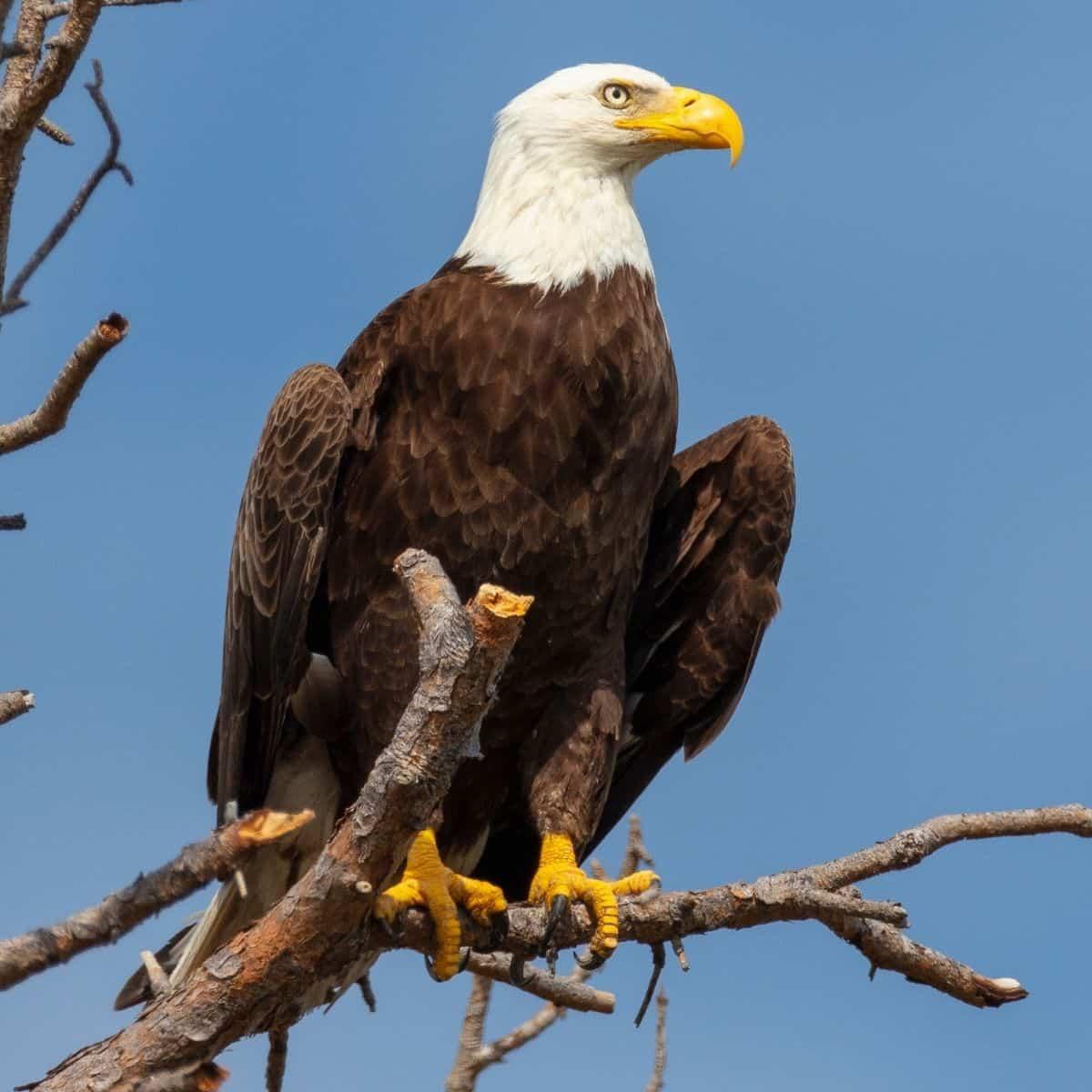 keep dog safe from eagles