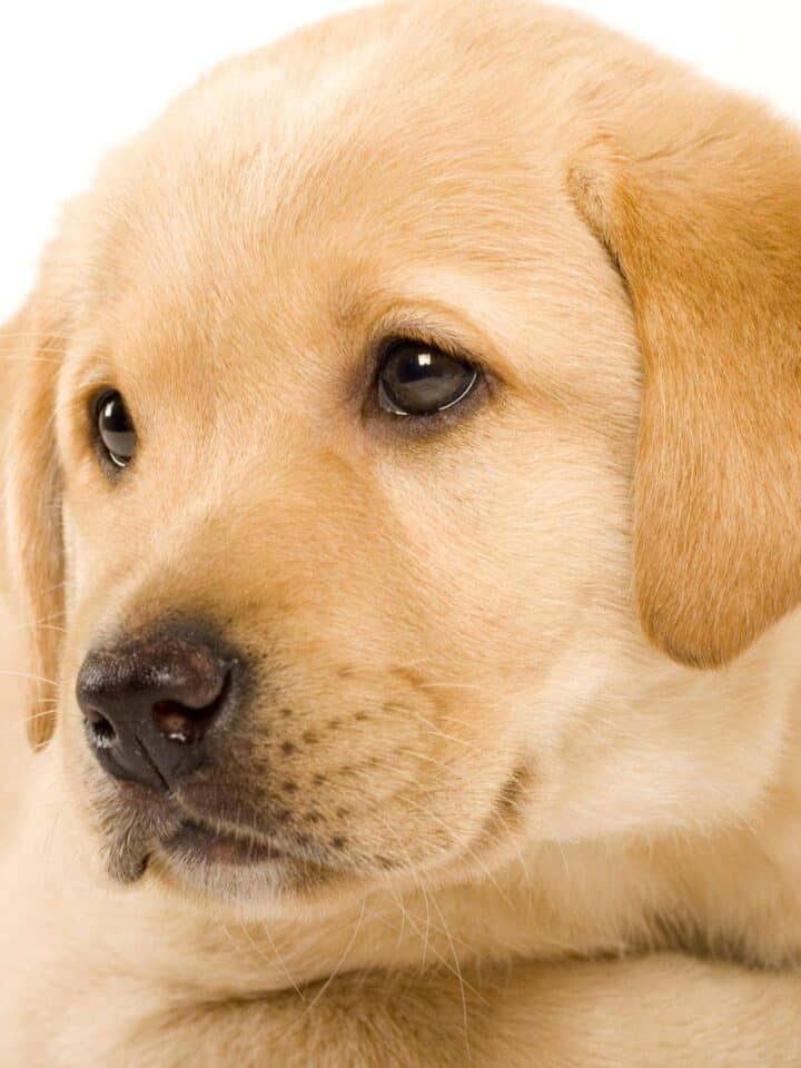 Top 10 Popular Answers about Labrador Retriever Questions