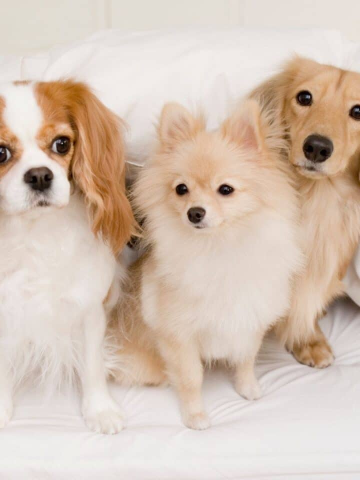 How to Use Natural Flea Prevention for Dogs
