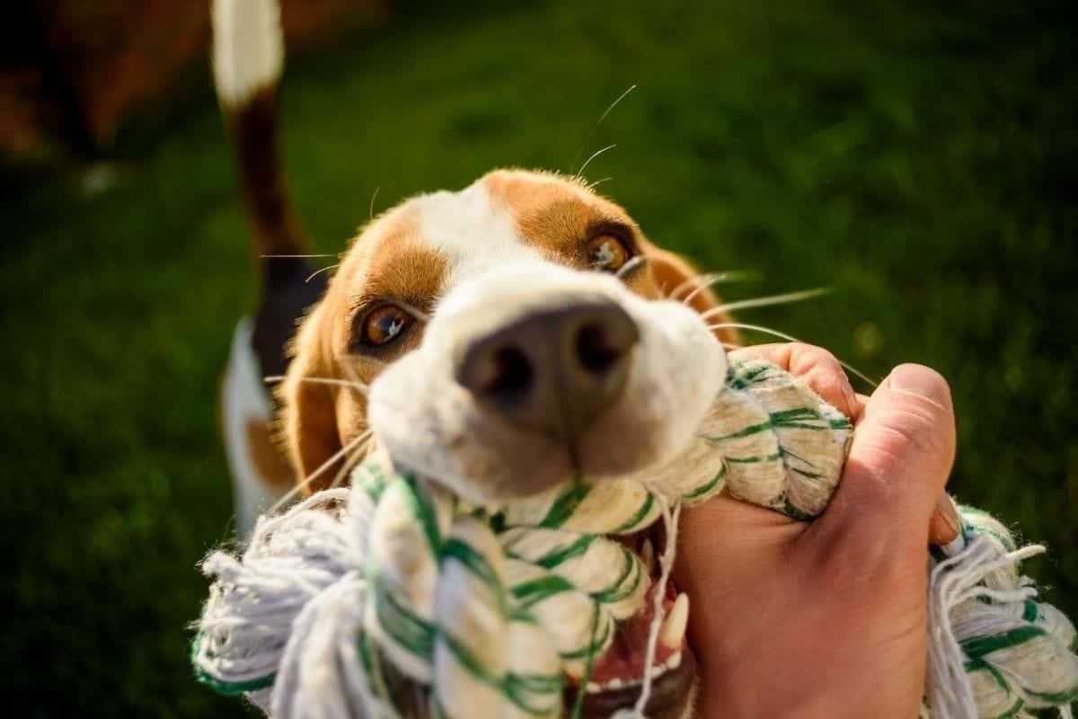 rope toy dog