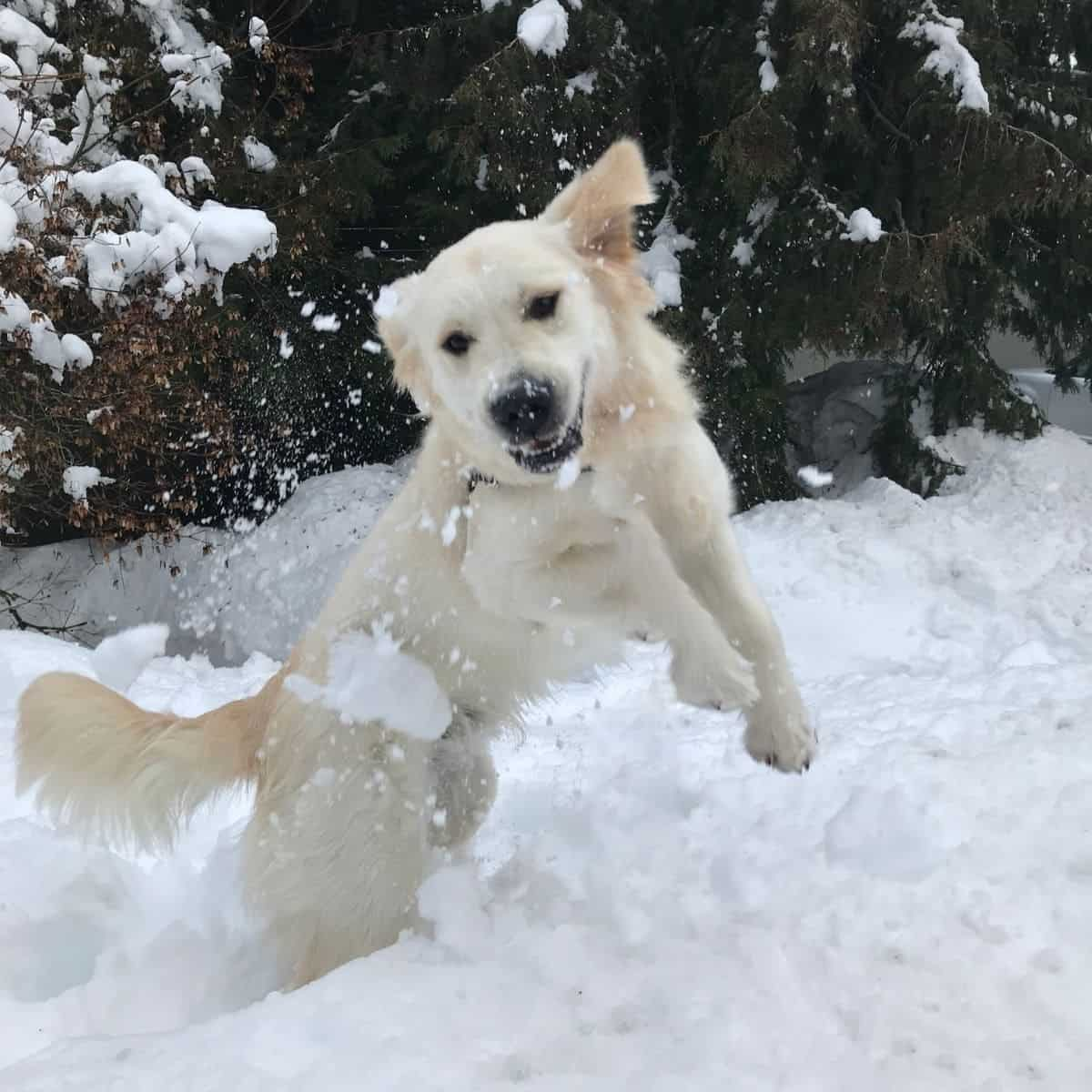 snow and dogs