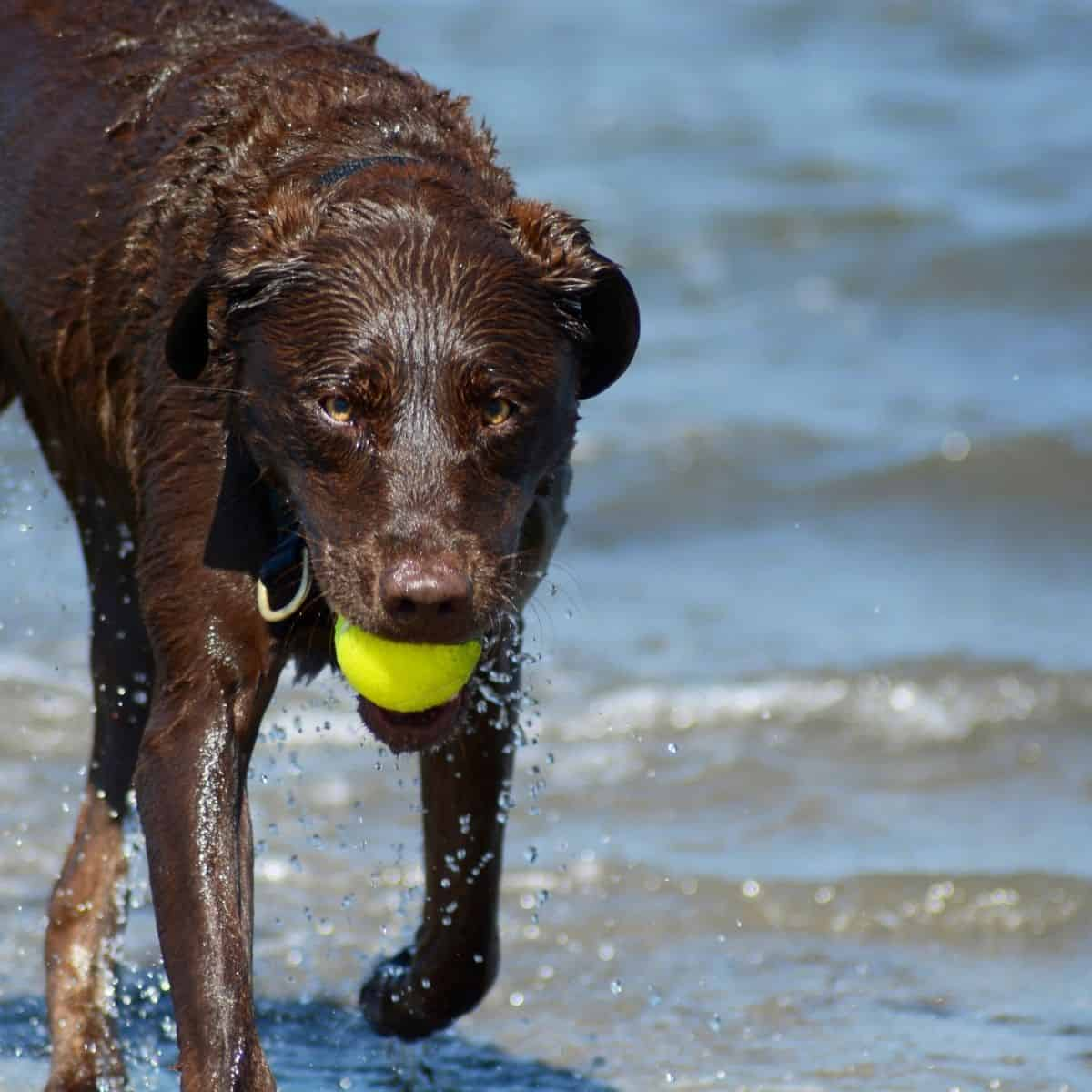 limber tail or swimmers tail in dogs